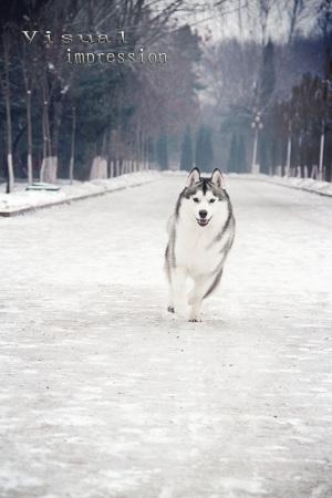 哈士奇雪橇犬背景素材