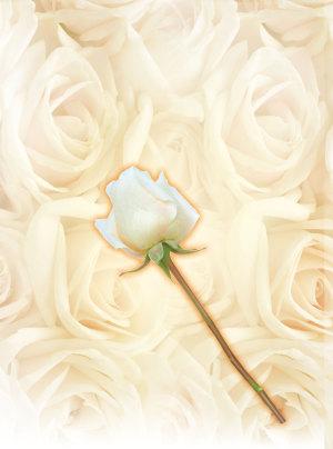 白色情人节白色玫瑰花海报