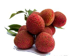 素描手绘水果 水果荔枝