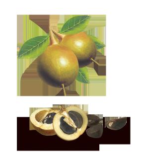 茶籽果图片