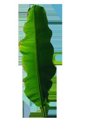 热带雨林绿色芭蕉叶