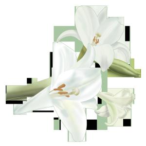 春天里美丽的百合花